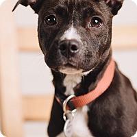 Adopt A Pet :: Pippy - Portland, OR