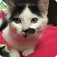 Adopt A Pet :: Lucy Miu LC - Schertz, TX