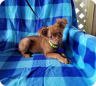Chihuahua/Mixed Breed (Small) Mix Puppy for adoption in Hamilton, Ontario - Pumbaa