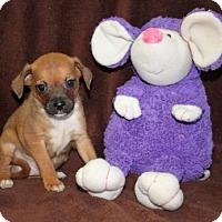 Adopt A Pet :: Salsa - Norfolk, VA