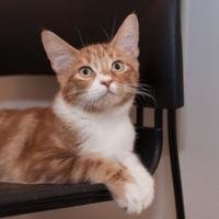 Adopt A Pet :: Cinnamon - Palm Springs, CA