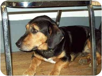 Basset Hound Mix Dog for adoption in Cincinnati, Ohio - Tango: Well Trained