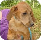 Hound (Unknown Type) Mix Dog for adoption in Portland, Maine - Honey Bunny