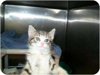 Domestic Shorthair Cat for adoption in Munster, Indiana - Mini Mia