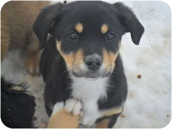 Beagle/Border Collie Mix Puppy for adoption in Anton, Texas - Five