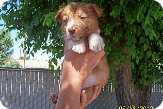 Australian Shepherd/Australian Cattle Dog Mix Puppy for adoption in West Los Angeles, California - Riley