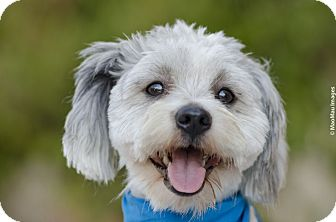 Lhasa Apso/Poodle (Miniature) Mix Dog for adoption in Redondo Beach, California - Mr. Shags