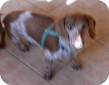 Dachshund Dog for adoption in dewey, Arizona - Hans
