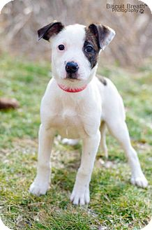 American Pit Bull Terrier/Cocker Spaniel Mix Puppy for adoption in Howell, Michigan - Mini Z