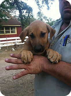 Australian Shepherd/Labrador Retriever Mix Puppy for adoption in Cat Spring, Texas - Cagney