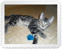 Domestic Shorthair Cat for adoption in Medford, Wisconsin - CASSIE