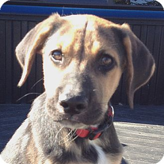 German Shepherd Dog/Labrador Retriever Mix Puppy for adoption in Weatherford, Texas - Rocky