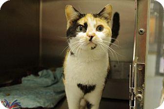 Domestic Shorthair Cat for adoption in Elyria, Ohio - Carmen