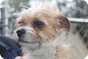 Cairn Terrier Mix Dog for adoption in Grass Valley, California - Muppet