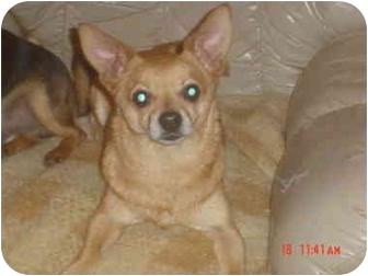 Chihuahua/Dachshund Mix Dog for adoption in Eaton, Indiana - dakota