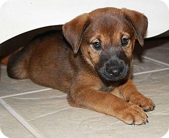 Labrador Retriever/Shepherd (Unknown Type) Mix Puppy for adoption in Richmond, Texas - Dolly