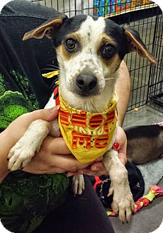 Terrier (Unknown Type, Small) Mix Dog for adoption in Alexis, North Carolina - Chip