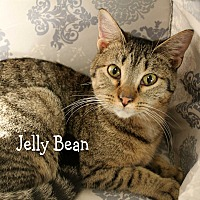 Domestic Shorthair Cat for adoption in Wichita Falls, Texas - Jelly Bean