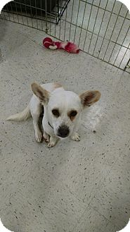 Corgi/Terrier (Unknown Type, Small) Mix Dog for adoption in Simi Valley, California - Albert