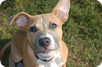 Boxer/Bulldog Mix Puppy for adoption in CHICAGO, Illinois - DELILAH