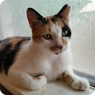 Calico Cat for adoption in San Antonio, Texas - Calista