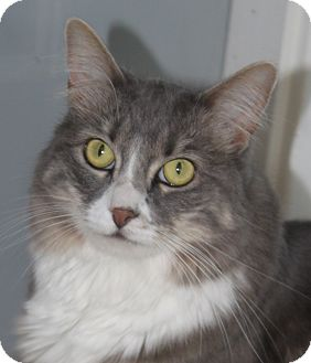 Domestic Longhair Cat for adoption in North Branford, Connecticut - Chloe