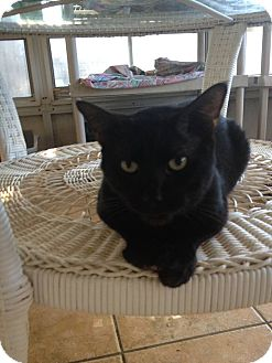Domestic Shorthair Cat for adoption in New Port Richey, Florida - Jupiter