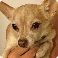 Adopt A Pet :: Boots - Orlando, FL