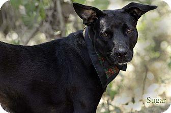 Labrador Retriever/Staffordshire Bull Terrier Mix Dog for adoption in Nanaimo, British Columbia - Sugar
