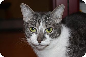 Domestic Shorthair Cat for adoption in Little Falls, New Jersey - Quinn (LE)