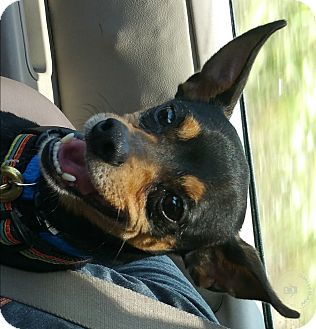 Miniature Pinscher/Chihuahua Mix Dog for adoption in Chicago, Illinois - Bennett