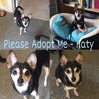Chihuahua Dog for adoption in N. Babylon, New York - Katy