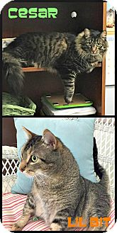 Maine Coon Cat for adoption in Beaumont, Texas - Lil Bit