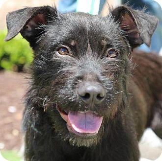 Schnauzer (Standard) Mix Dog for adoption in CUMMING, Georgia - Eva