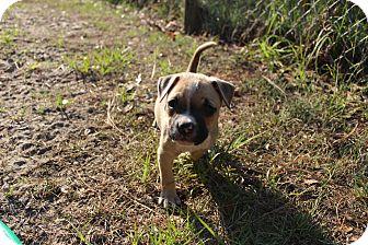 Boxer/American Bulldog Mix Puppy for adoption in Weeki Wachee, Florida - Aphrodite