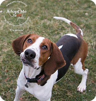 Treeing Walker Coonhound Dog for adoption in New Milford, Connecticut - Cassian