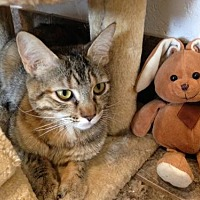 American Shorthair Cat for adoption in Alamogordo, New Mexico - Page
