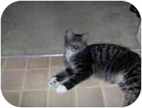 Domestic Shorthair Cat for adoption in Tampa, Florida - Mr. Mittens