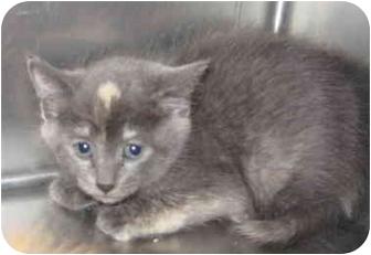 Domestic Shorthair Kitten for adoption in Stillwater, Oklahoma - Amulet