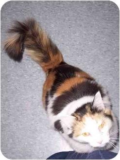 Domestic Longhair Cat for adoption in Delmont, Pennsylvania - Maui