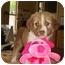 Photo 2 - Australian Shepherd/Collie Mix Puppy for adoption in Baton Rouge, Louisiana - Brooke