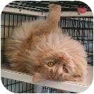 Domestic Longhair Cat for adoption in Denver, Colorado - Butch
