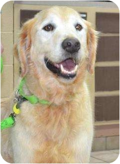 Golden Retriever Mix Dog for adoption in Knoxville, Tennessee - Wilbur