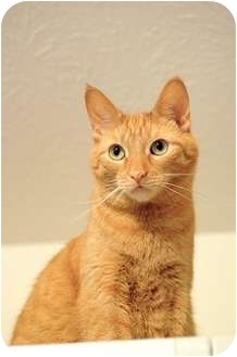 American Shorthair Cat for adoption in Victor, New York - Trudy