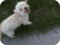 Bichon Frise/Poodle (Miniature) Mix Dog for adoption in Alliance, Nebraska - Bixby