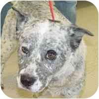 Cattle Dog Mix Dog for adoption in Berkeley, California - Dozer