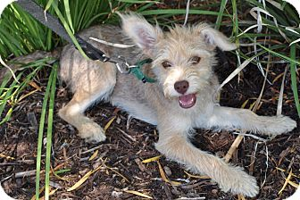 Cairn Terrier Mix Puppy for adoption in Mission Viejo, California - Bugsy