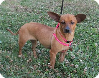 Dachshund Mix Dog for adoption in Kingwood, Texas - Winny