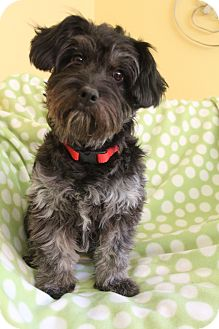 Poodle (Miniature)/Schnauzer (Miniature) Mix Dog for adoption in Bedminster, New Jersey - Lilly