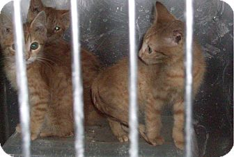 Domestic Shorthair Kitten for adoption in Henderson, North Carolina - B-Kittens (3)